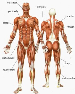 Muscles-In-The-Human-Body